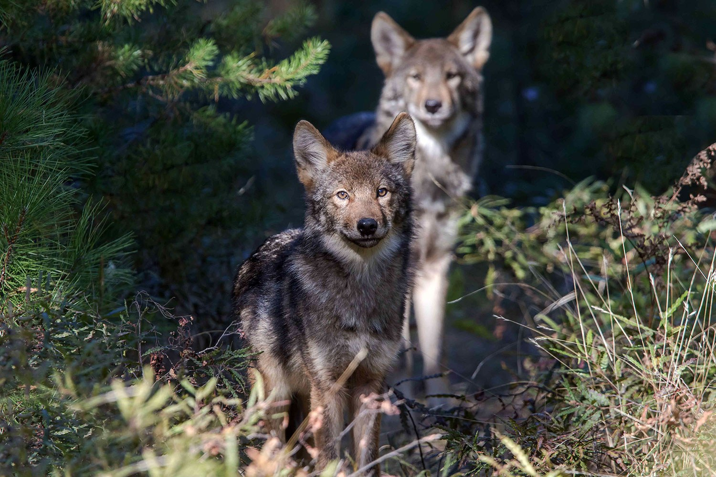 Wolves (Photo: Michael Runtz)