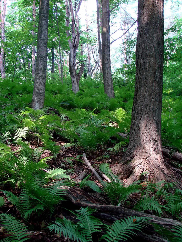 Sheppard's Bush ostrich ferns